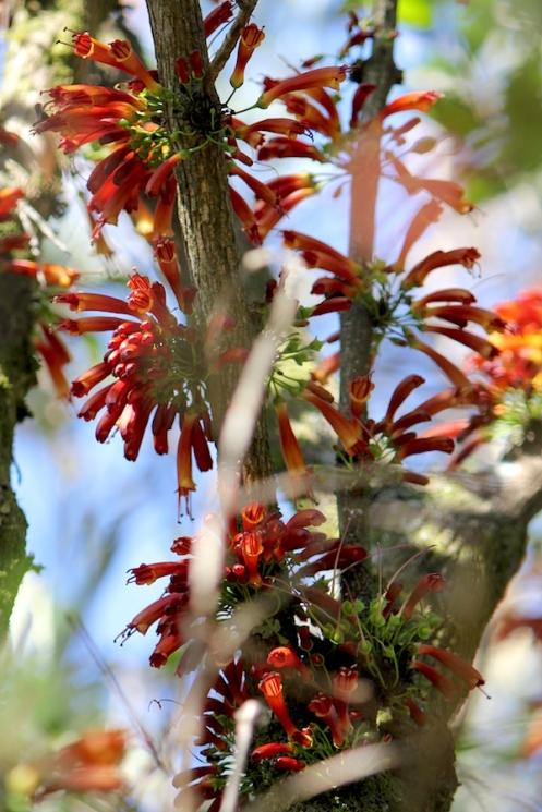 03 Flora Flower Halleria lucida IMG_6297
