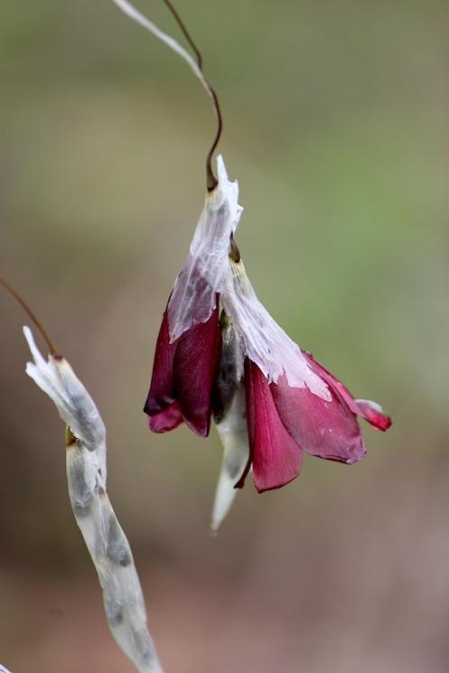 02 Flora Dierama latifolium IMG_1559